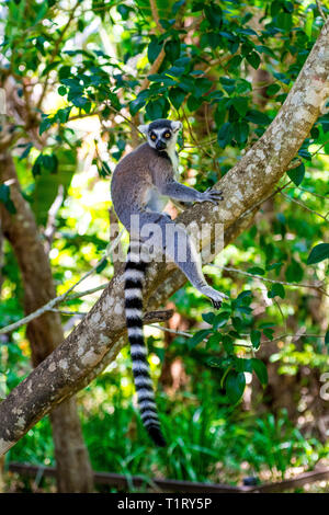 The ring-tailed lemur is a large strepsirrhine primate and the most recognized lemur due to its long, black and white ringed tail found in Madagascar. - Stock Image