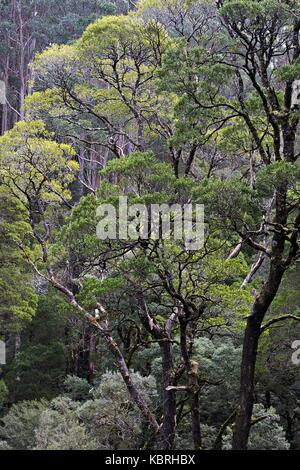 View of Otway rain forest trees from a tree top walkway. - Stock Image