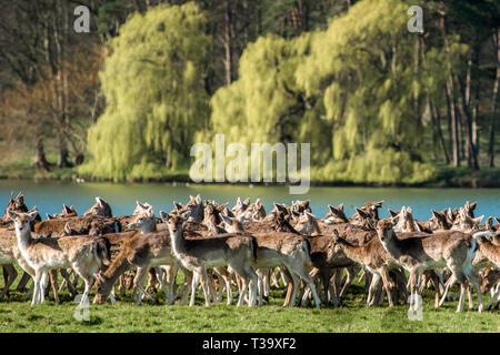 Herd of Fallow deer next to Holkham park lake, Holkham Hall, North Norfolk, East Anglia, England, UK. - Stock Image