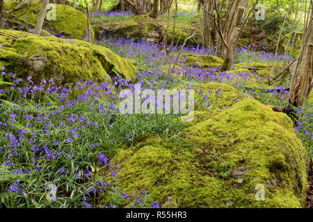 Blue bells in Parc Gelli woods near Tregarth in North Wales which is part of the Parc Gelli Hut Group and Ancient Fields Scheduled Ancient Monument. - Stock Image