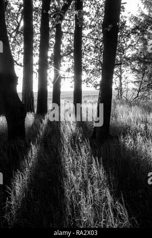 Spring scene with oak grove, dark trees, sunlight and shadows. Quercus robur. Black and white rural landscape. Forest, grass and field in a background. - Stock Image
