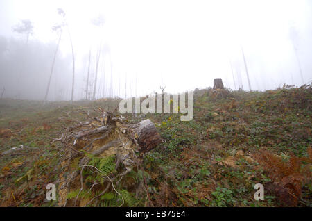 Hewn pine forest. Misty autumn day. - Stock Image