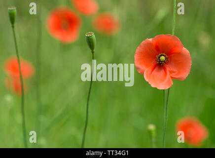 Poppy flower in garden outdoor fully bloomed - Stock Image