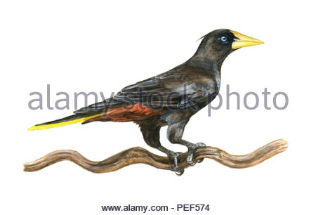 kraehenstirnvogel psarocolius decumanus - Stock Image