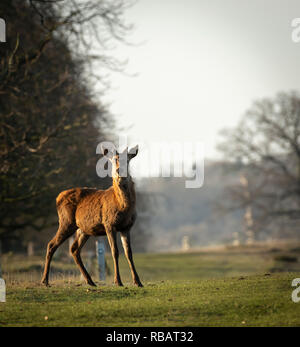 Red Deer - Hind, Berkeley Deer Park, Gloucestershire - Stock Image