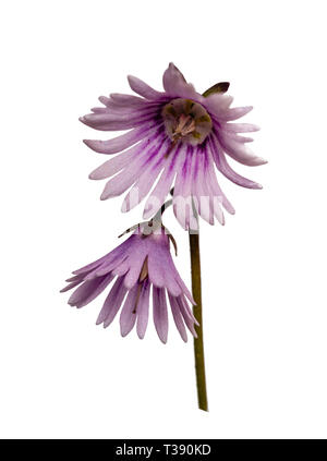 Focus stacked image of the spring flowering alpine, Soldanella 'Sudden Spring', against a white background - Stock Image