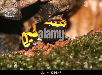 South American Yellow banded or yellow headed poison dart frog (Dendrobates leucomelas), a.k.a. Bumblebee poison - Stock Image
