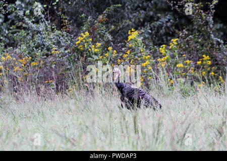 Wild young tom turkey walking in talking grass near edge of woods. - Stock Image