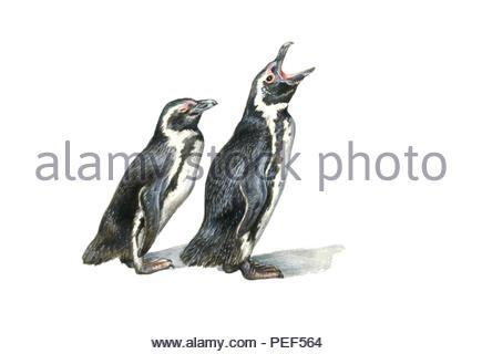 spectacled penguin spheniscus demersus - Stock Image