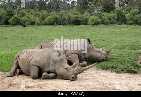 Two southern white rhinos sleeping at the Peon Range Zoo in Werribee, Melbourne, Australia. - Stock Image