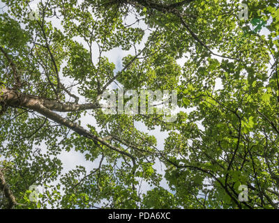 Overhead leaf canopy of Sycamore [Acer pseudoplatanus] during sunny summer day. - Stock Image