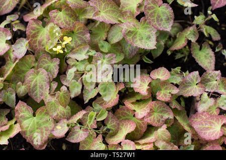Barrenwort epimedium at the Oregon Garden in Silverton, Oregon, USA. - Stock Image