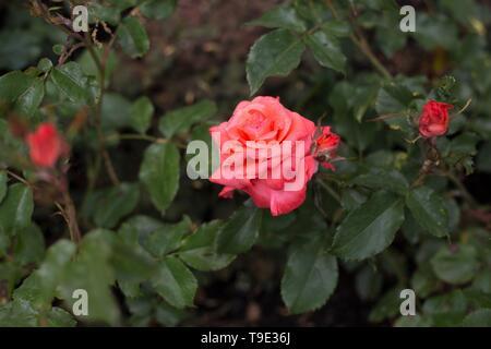 First Edition floribunda rose at the Owen Rose Garden in Eugene, Oregon, USA. - Stock Image