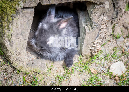 Portrait of black small fluffy rabbit hiding at interior of rotten log in a sunny day. - Stock Image