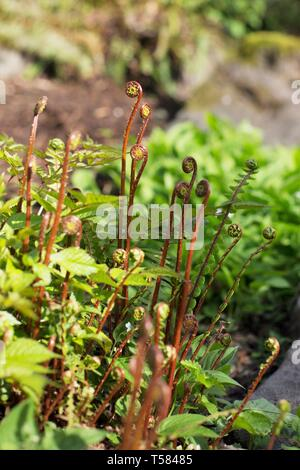 Ferns with red stems that have not unfurled yet, in Hendricks park in Eugene, Oregon, USA. - Stock Image