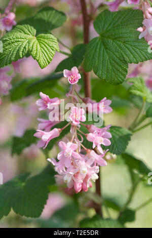 Ribes sanguineum flowers in Spring. - Stock Image