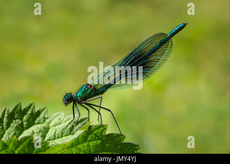 close up macro shot of male banded demoiselle damselfly on a green leaf in Scotland - Stock Image