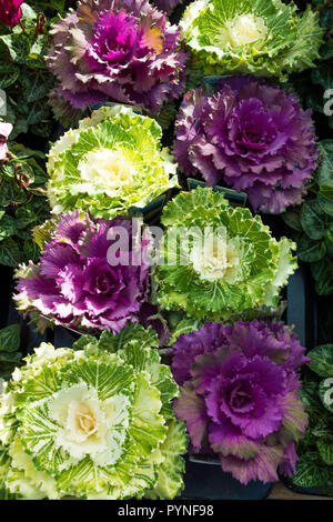 Yellow and purple ornamental cabbages for sale in a UK garden centre - Stock Image