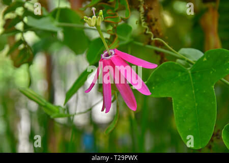Close up of Passiflora Nigradenia, Passion Flower in a garden conservatory - Stock Image