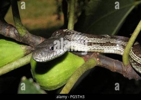A gray rat snake hunting birds from a fig bush. - Stock Image