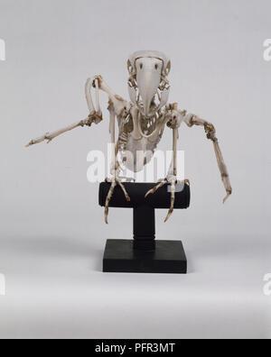 Green-Winged Macaw Skeleton - Stock Image