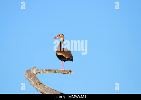A Whistling Duck facing left on a tree branch in the Florida Everglades. - Stock Image