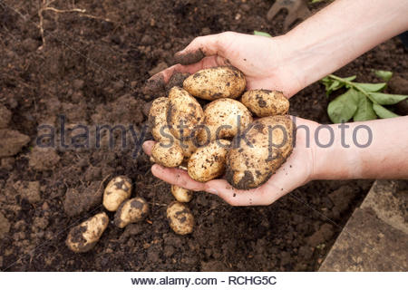 Person holding freshly harvested muddy potatoes - Stock Image