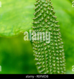 Rather weird sci-fi looking piece of garden plant part. Possibly the forming seed head of Sweet Flag / Acorus calamus, but uncertain. - Stock Image