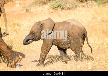 A wet baby elephant sucks her trunk as she follows her mother after a bath in the Ewaso Ng'iro River in Samburu in Kenya. - Stock Image