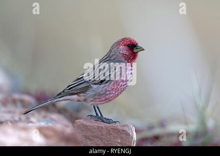 Streaked Rosefinch male - Stock Image