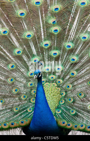 Portrait of a male Indian Peafowl displaying (Pavo cristatus). - Stock Image