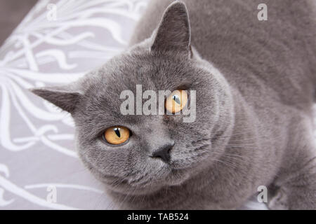 British Blue Shorthair Cat, Portrait single male adult, Close up of face,  England, UK - Stock Image