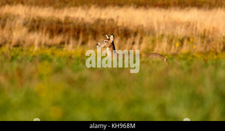 Partial profile of a white-tailed deer near Sussex, Kings County, New Brunswick, Canada. - Stock Image