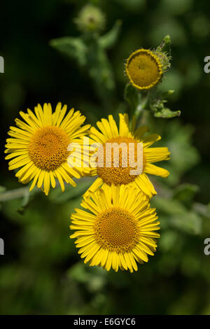 Common fleabane (Pulicaria dysenterica) flowers Andrew's Wood Devon UK Europe - Stock Image