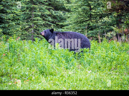 Wild American black bear in the wood of Banff. - Stock Image