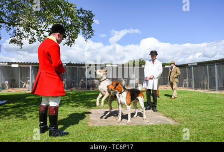 Ardingly Sussex UK 6th June 2019 - Hounds warm up for competition on the first day of the South of England Show held at the Ardingly Showground in Sussex. The annual agricultural show highlights the best in British farming and produce and attracts thousands of visitors over three days . Credit : Simon Dack / Alamy Live News - Stock Image