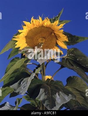 Sunflower against blue Vermont USA sky - Stock Image