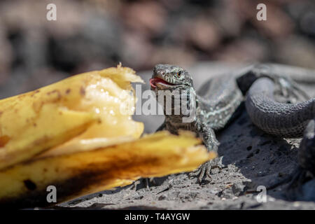 Wall lizard (gallotia galloti palmae) with a curling tongue eating a discarded banana with volcanic landscape rock in the background. La Palma Island, - Stock Image