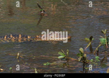 A juvenile alligator and reflection. - Stock Image
