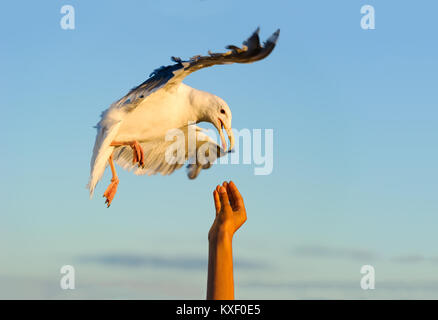 Bird flying man is an image of a bird in flight making contact with a man's hand in unity. - Stock Image