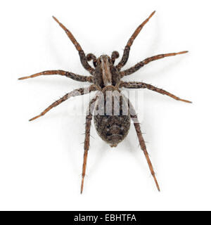 A subadult male Dune Wolf Spider (Xerolycosa miniata), on a white background, part of the family Lycosidae - Wolf - Stock Image