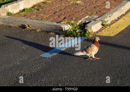 White and brown pigeon walking in a parking lot located in Funchal, Madeira. There is concrete, red tiles, colorful lines and a colorful pigeon. - Stock Image