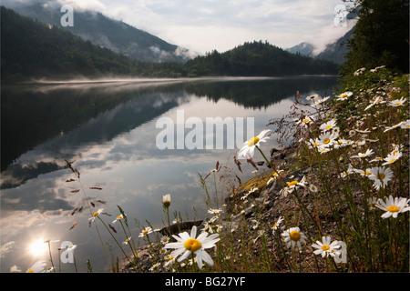 Oxeye daisies (Chrysanthemum leucanthemum) and Silver Lake, Silver Lake Provincial Park, British Columbia, Canada - Stock Image
