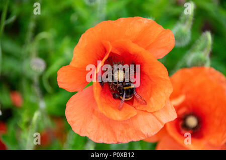 Bumblebee collecting nectar pollen from the stamen of a wild poppy flower	 Bumblebee collecting nectar pollen from the stamen of a wild poppy flower - Stock Image