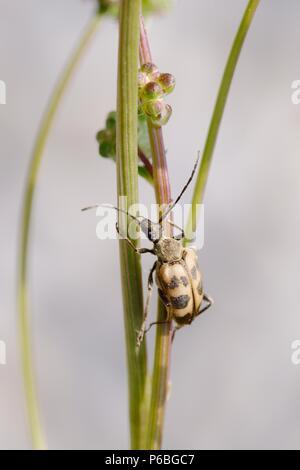 Pachytodes cerambyciformis, Longhorn beetle,  Wales,  UK. - Stock Image