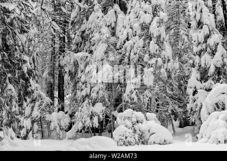 Close-up on snow-covered coniferous trees in Yosemite National Park, California, USA, featuring snow landscape and a hidden structure, viewed from the - Stock Image