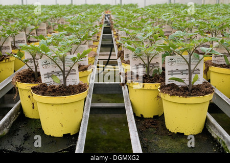 Rows of potted tomato plants in a greenhouse, Italy - Stock Image