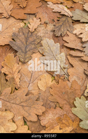 Dead autumnal Oak / Quercus leaves on the ground. End of Season metaphor, or autumn leaves. - Stock Image