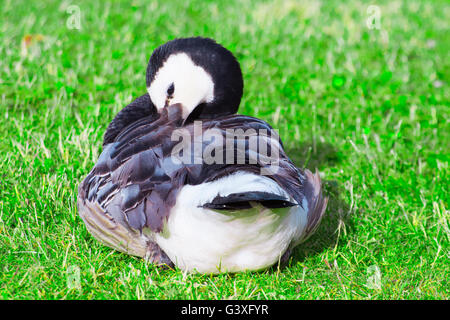 Barnacle Goose dressing their feathers - Stock Image