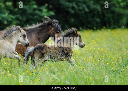 Running mini horses - Stock Image